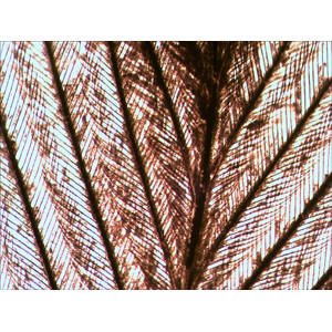 Levenhuk Microscopio Rainbow 50L Plus Amethyst