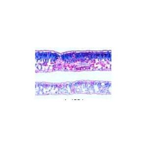 LIEDER Fagus, Buche. Sonnen-und Schattenblatt quer, Zwei Schnitte zum Vergleich
