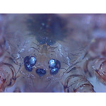 Oczy pająka