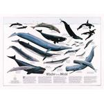 National Geographic Map Whales of the world