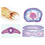 LIEDER Invertebrata, elementary set, 25 microscope slides