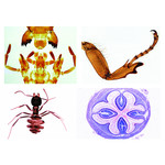 LIEDER Insecta, supplementary set, 36 microscope slides