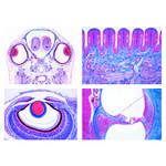 LIEDER Szkoła stopnia średniego, zestaw III, narządy zmysłów (16 preparatów)