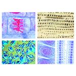 LIEDER Citologia, le cellule delle piante (12 preparati)