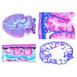 LIEDER The Frog (Rana), 20 microscope slides