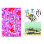 LIEDER Frog Histology (Rana), Basic Set of 12 slides, Student Set
