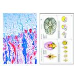 LIEDER Histología del hombre y los mamíferos, suplemento II (12 prep.), kit de aprendizaje
