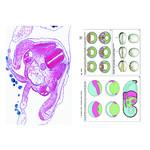 LIEDER Embryologie und Entwicklung der Tiere, Ergänzung (12 Präp), Schülersatz