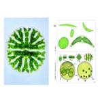 LIEDER Algae, Basic Set of 6 slides, Student Set