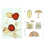 LIEDER Sporenplanten (Cryptogamen), basis (12 preparaten), studentenset