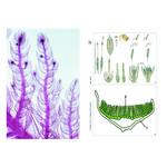 LIEDER Plantes sans fleurs (Cryptogamae), kit étudiant complémentaire (12 préparations),