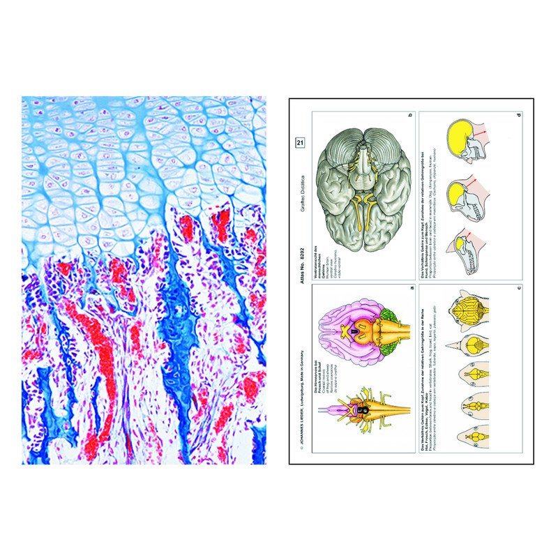 LIEDER Human and animal Histology, Supplementary Set II of 12 slides ...